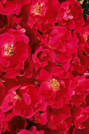 Knock Out® Rose, Rosa 'Radrazz' PP#11836 CPBR#0993 for $ 42.95 at Root 98 Warehouse