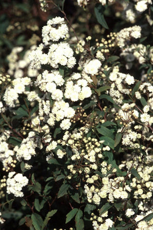 Reeves Spiraea Bridal Wreath (ornamental, bush, green foliage, white flowers) for $ 38.95 at Root 98 Warehouse