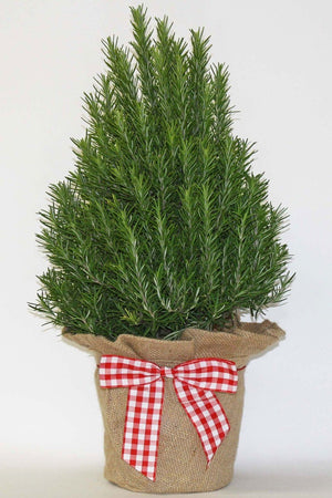 "Hardy Rosemary Tree, Burlap & Gingham Bow, Size: 6.5"" pot"