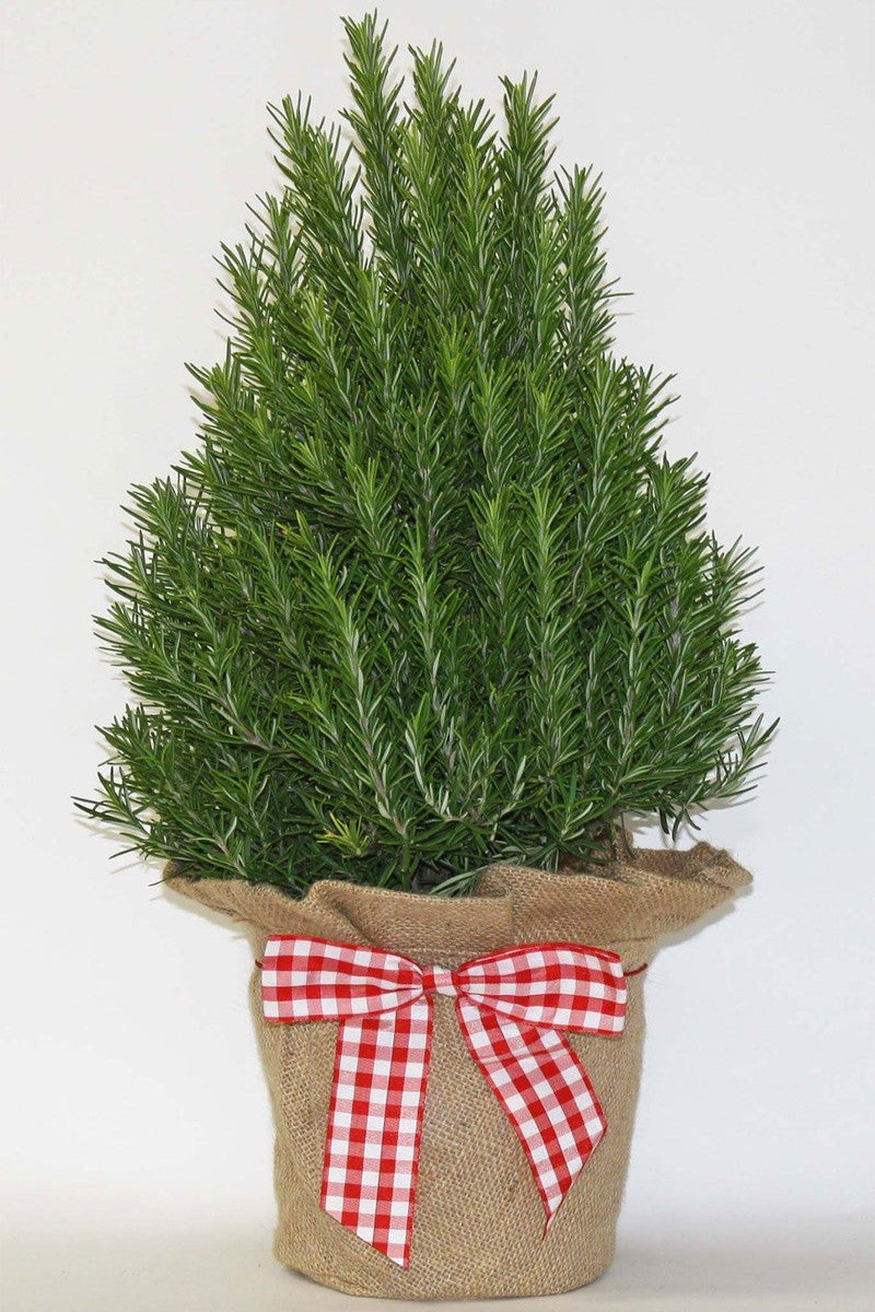 Hardy Rosemary Tree (in Burlap & Gingham Bow)(Free 3-Day Shipping)