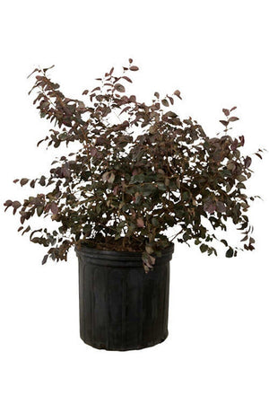 Ruby Loropetalum (ornamental, bush, burgundy foliage, pink flowers)