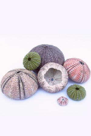 Sea Urchin for Mounting a Tillandsia Air Plant (Excludes Ca, Az) Size: 1 Pack (3-4in Live Plant)