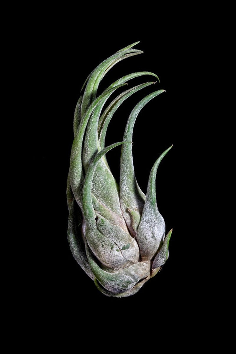 Air Plant, Seleriana (Excludes Ca, Az), Size: 1 Pack