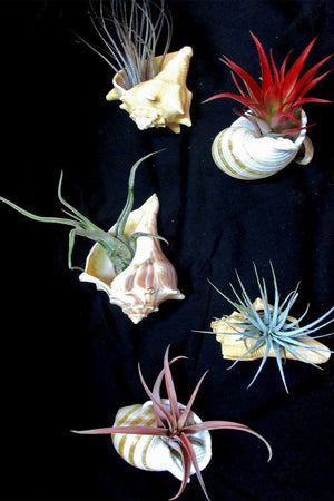 Air Plant with Shell (Excludes Ca, Az), Size: 3-inch pot