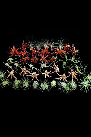 Air Plant, Assorted (Excludes Ca, Az), Size: Small x 47