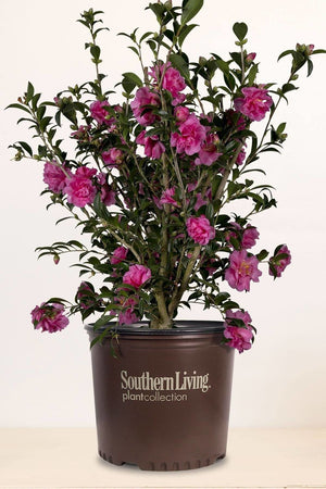 Southern Living Alabama Beauty Camellia (bush, green foliage, red flowers)