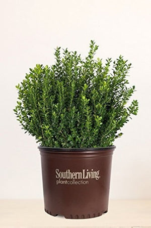 Southern Living® Baby Gem Boxwood (Excludes:TN) for $ 37.95 at Root 98 Warehouse