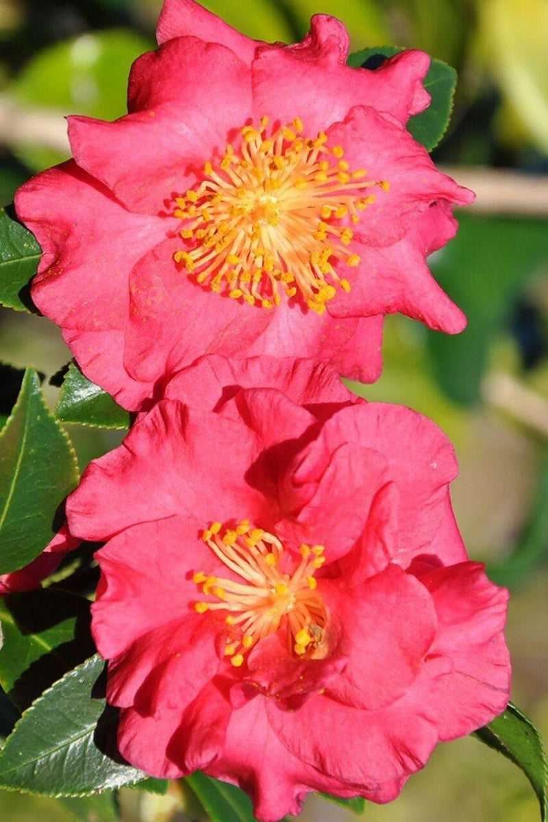 Southern Living Bella Rouge Camellia (ornamental,bush,green foliage,red flowers)