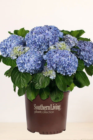Southern Living® Big Daddy Hydrangea
