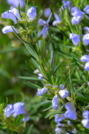 Southern Living Chef Choice Rosemary (landscape, edible, herb, fragrant)