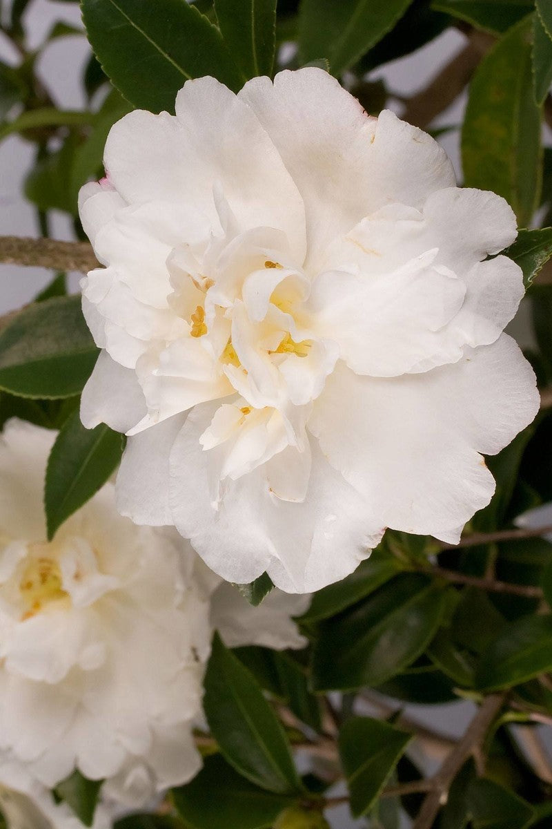 Southern Living Diana Camellia (landscape, bush, green foliage, white blooms)