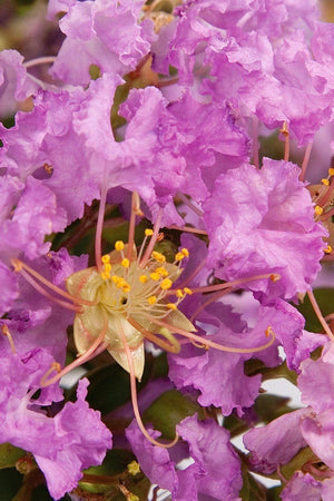 Southern Living Early Bird Lavender Crape Myrtle (bush, tree, lavender blooms)