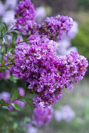 Southern Living Early Bird Purple Crape Myrtle (landscape, tree, purple blooms)