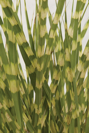 Southern Living Gold Breeze Miscanthus (landscape, grass, yellow-green foliage)