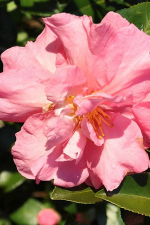 Southern Living® Jessicas Ruffles™ Camellia (pink flowers)