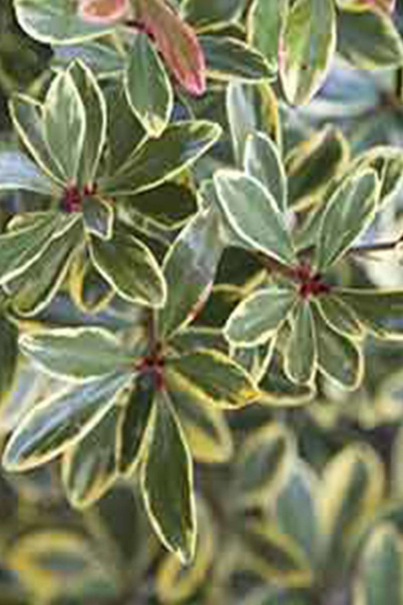 Southern Living Juliet Cleyera Variegated (landscape,bush,yellow-green foliage)