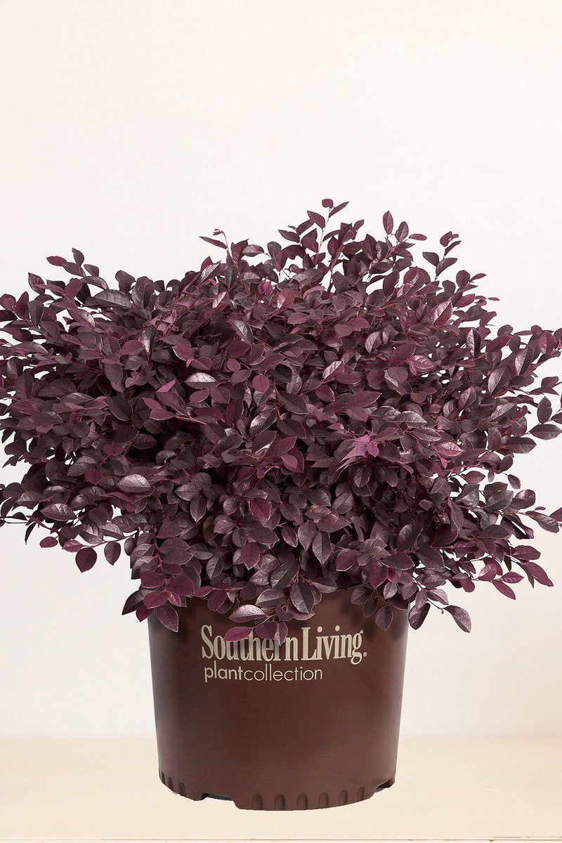 Southern Living® Purple Daydream®, Loropetalum Chinense 'PIILC-III' PP25471 for $ 38.95 at Root 98 Warehouse