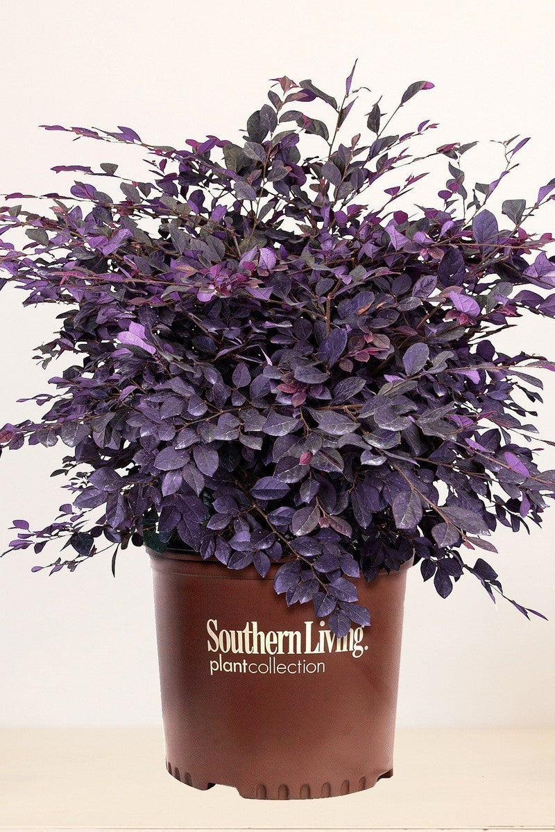 Southern Living® Purple Diamond®, Loropetalum Chinense 'Shang-hi' PP18331 for $ 38.95 at Root 98 Warehouse