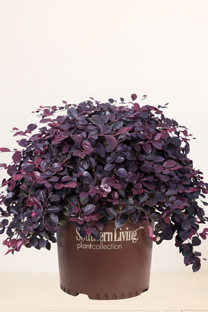 Southern Living Loropetalum Purple Pixie (bush, purple foliage, pink blooms) for $ 38.95 at Root 98 Warehouse