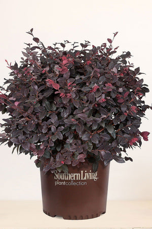 Southern Living Loropetalum Red Diamond (landscape, purple foliage, red blooms) for $ 59.95 at Root 98 Warehouse