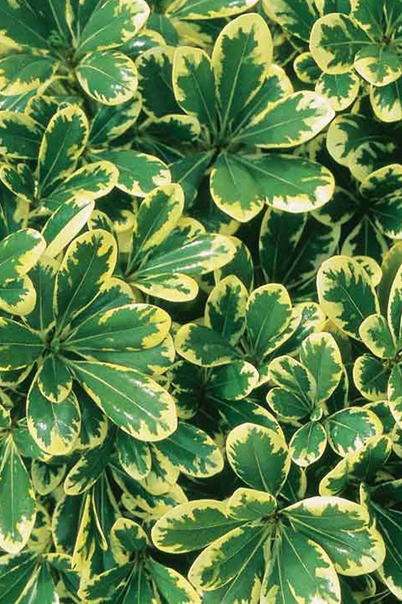Southern Living Mojo Pittosporum (hedge, variegated bush, yellow-green foliage)