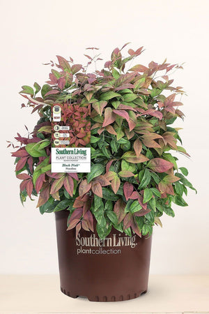 Southern Living® Blush Pink™, Nandina / Nandina Domestica 'AKA' PP19916 for $ 38.95 at Root 98 Warehouse