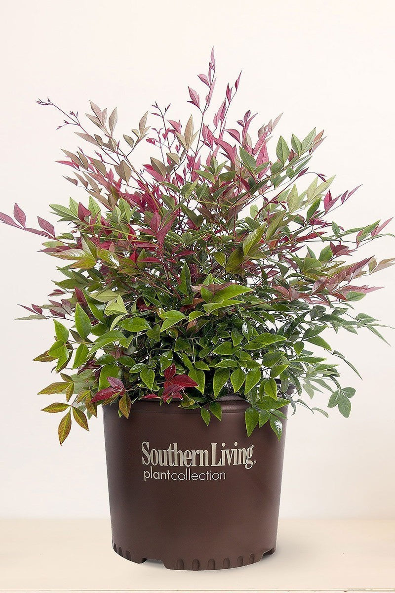 Southern Living Nandina Flirt (ornamental, landscape, burgundy-green foliage) for $ 38.95 at Root 98 Warehouse