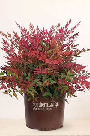 Southern Living® Obsession™, Nandina / Nandina domestica Seika PP21891 for $ 38.95 at Root 98 Warehouse