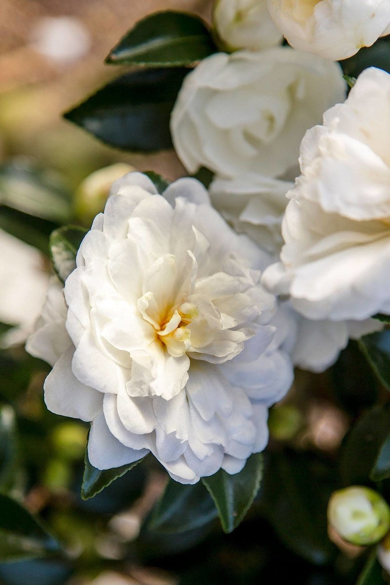 Southern Living® October Magic® Bride™ Camellia (green foliage, white flowers)