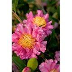 Southern Living October Magic Carpet Camellia (bush, green foliage, pink flower)