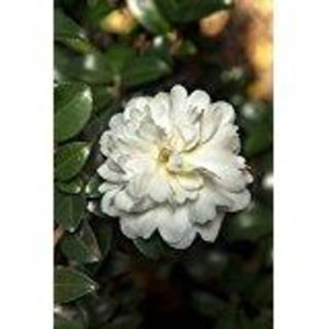 Southern Living October Magic Ivory Camellia (bush, green foliage, white flower) for $ 38.95 at Root 98 Warehouse