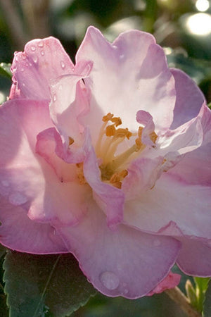 Southern Living October Magic Orchid Camellia (landscape,bush,pink white flower)