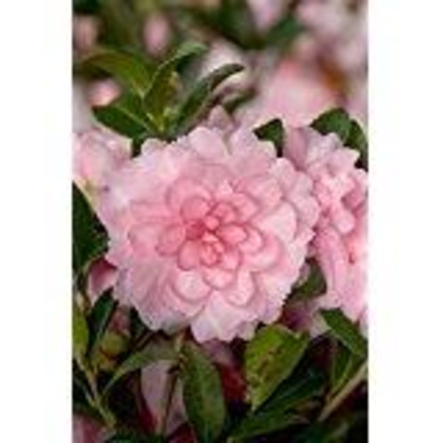 Southern Living October Magic Pink Perplexion Camellia (landscape, pink flower)
