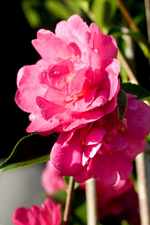 Southern Living October Magic Rose Camellia (landscape,green foliage,red flower)