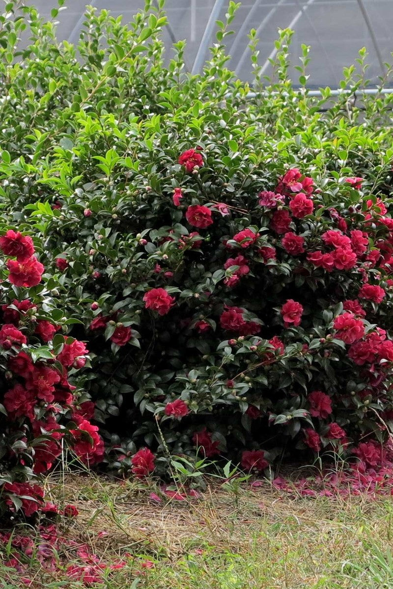 Southern Living® October Magic® Ruby™, Camellia Sasanqua 'Green 02-003', PP24538
