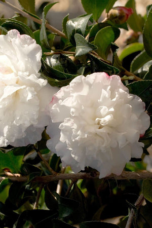 Southern Living® October Magic Snow Camellia