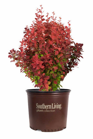 Southern Living® Orange Rocket Barberry (ornamental,landscape,bush,red foliage) for $ 39.95 at Root 98 Warehouse