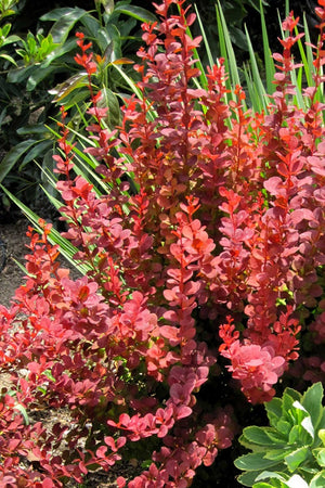 Southern Living® Orange Rocket Barberry (ornamental,landscape,bush,red foliage)