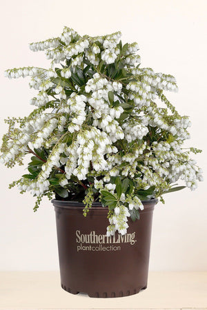Southern Living Pieris Mountain Snow (bush, dark green foliage, white flower)