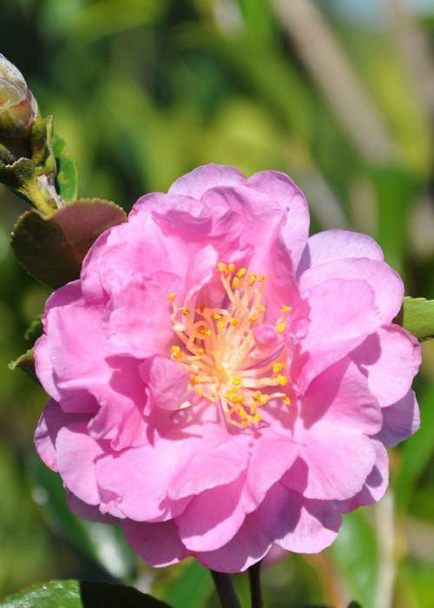 Southern Living® Pink Stella™, Camellia Sasanqua 'Dixie' for $ 38.95 at Root 98 Warehouse
