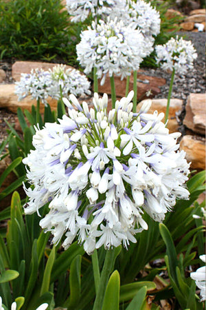 Southern Living Queen Mum Agapanthus (green foliage, white violet flower)
