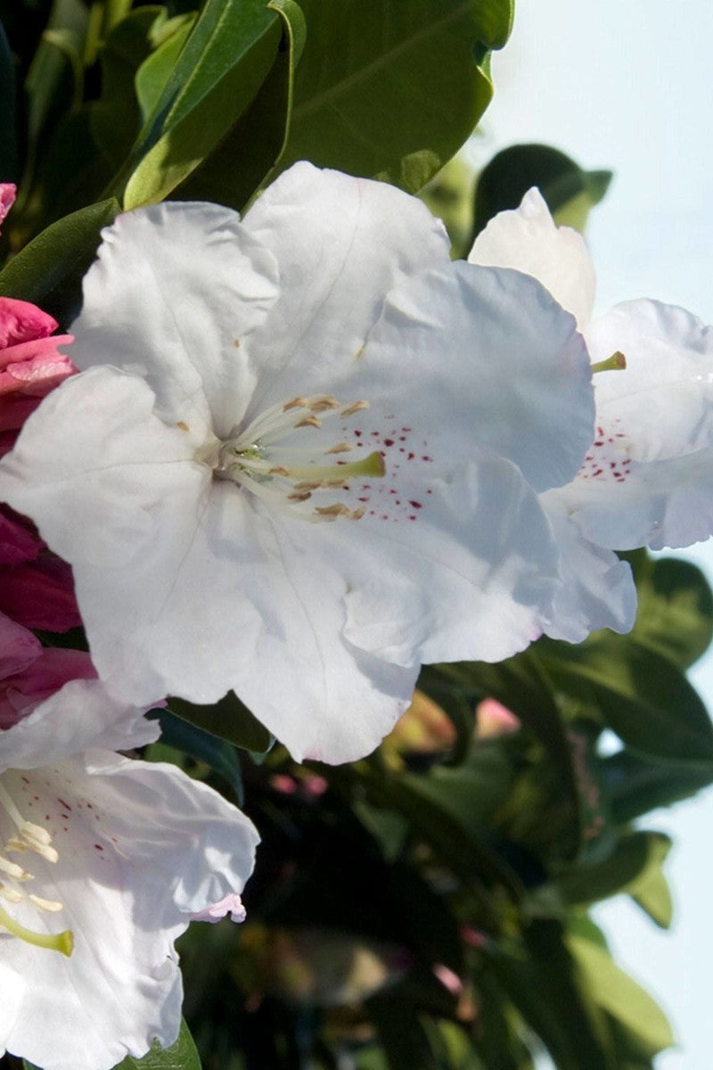 Southern Living® Southgate Divine Rhododendron Azalea (landscape, white flower) for $ 39.95 at Root 98 Warehouse
