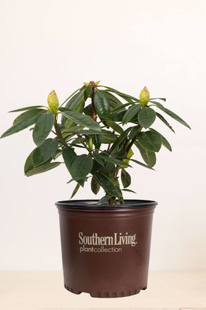 Southern Living® Southgate Radiance Rhododendron Azalea (bush, lavender flower)