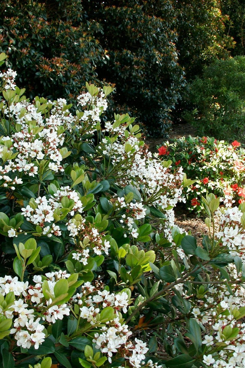 Southern Living Spring Sonata Indian Hawthorne (landscape, white pink flower)