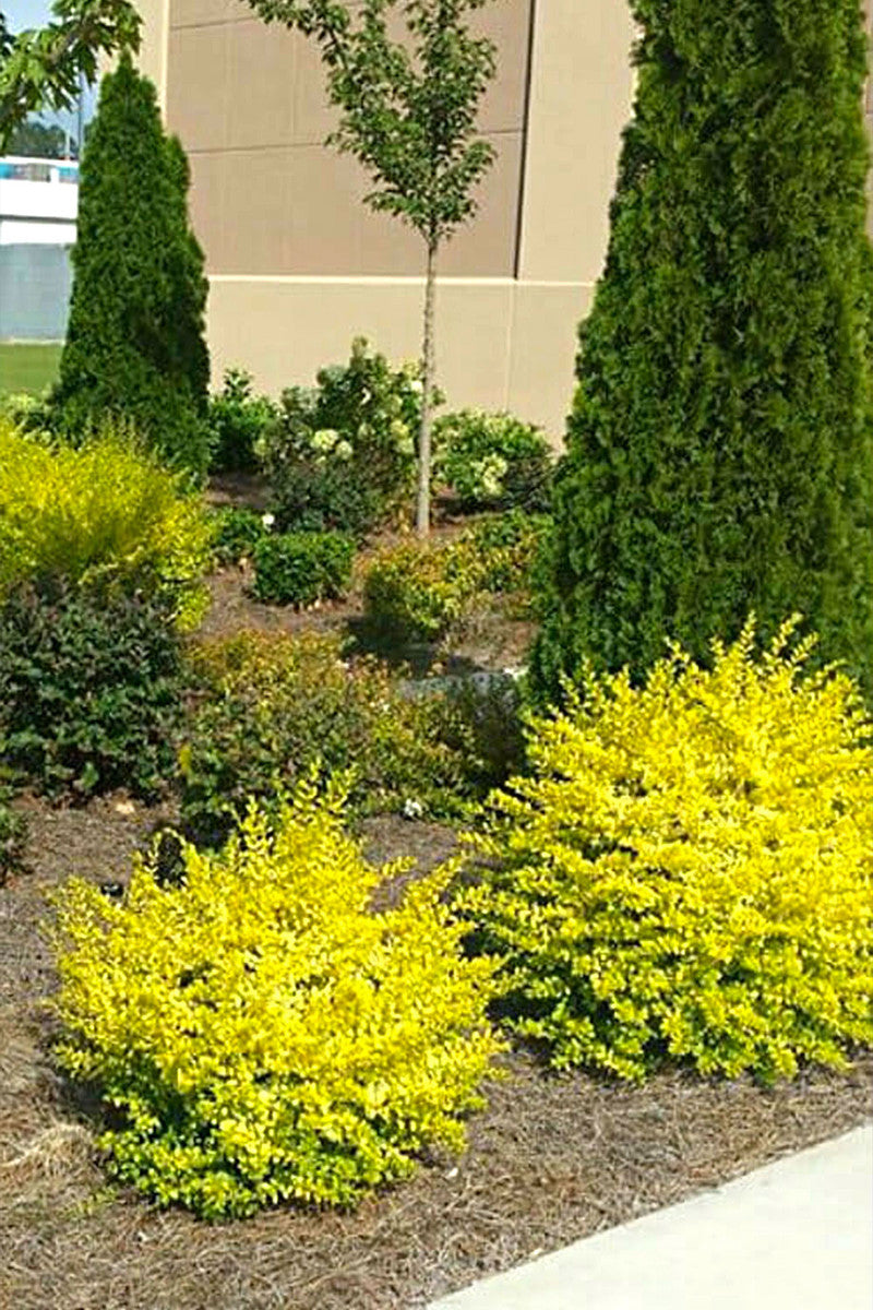 Southern Living® Plant Collection Sunshine Ligustrum for $ 32.99 at Root 98 Warehouse