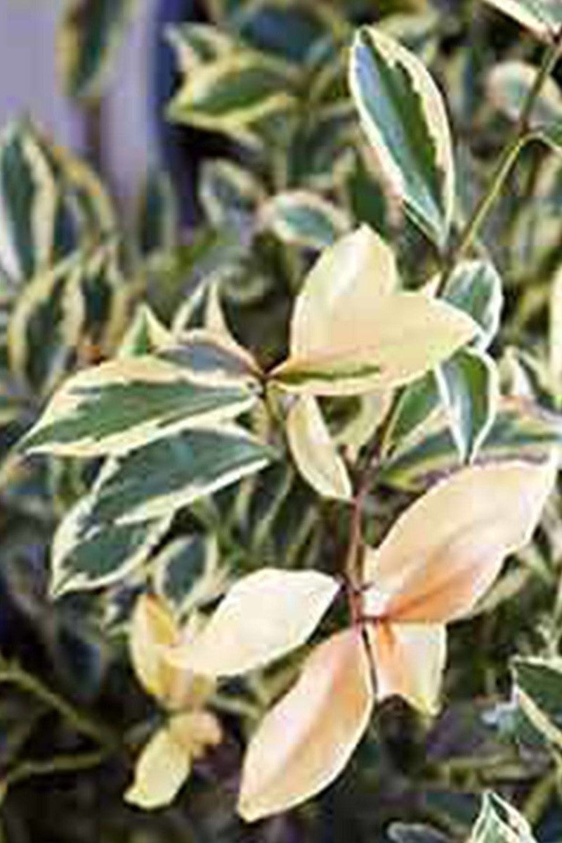 Southern Living Variegated Romeo Cleyera (bush, variegated creme green foliage)