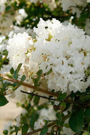 Southern Living White Early Bird Crape Myrtle (landscape,bush,tree,white blooms)