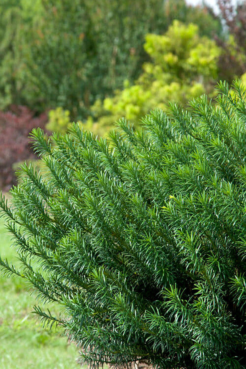 Southern Living Yewtopia Plum Yew (ornamental, landscape, bush, green foliage)