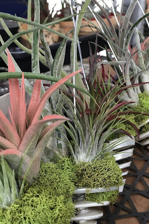 Tillandsia Air Plant Bromeliad with Spiral Shell Garden (Excludes: AZ, CA)