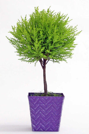 "Lemon Cypress Tree, Purple Chevron Planter, Size: 4"" pot"